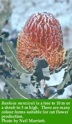 Banksia mangziesii