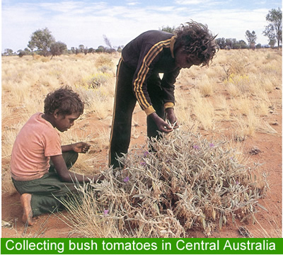 Collecting bush tomatoes