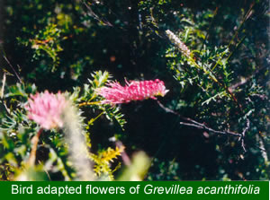 Bird adapted Grevillea acanthifolia