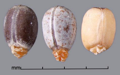carunculate seed