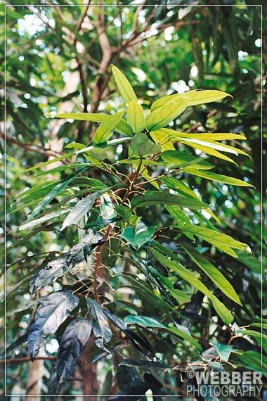 Ryparosa foliage
